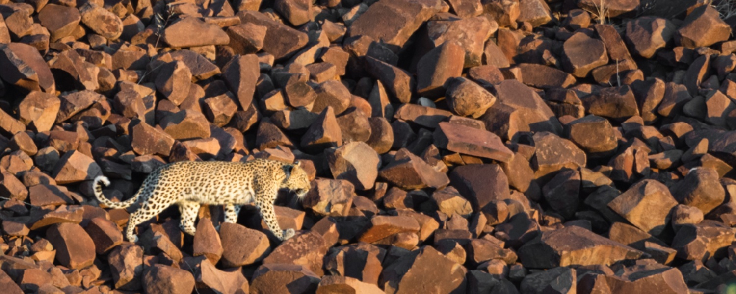 Leopard, Wildlife, Game Drive, Nature